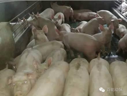 益阳百能动物保健品有限公司|百能动保|多肽保健养猪网|多肽6+1无病速长养猪模式|动物多肽保健品|多肽保健养猪|动物保健