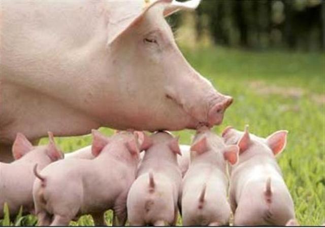 断奶仔猪的饲养管理