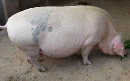 后备|新母猪不发情