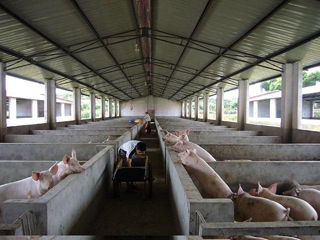 家庭猪场健康养猪