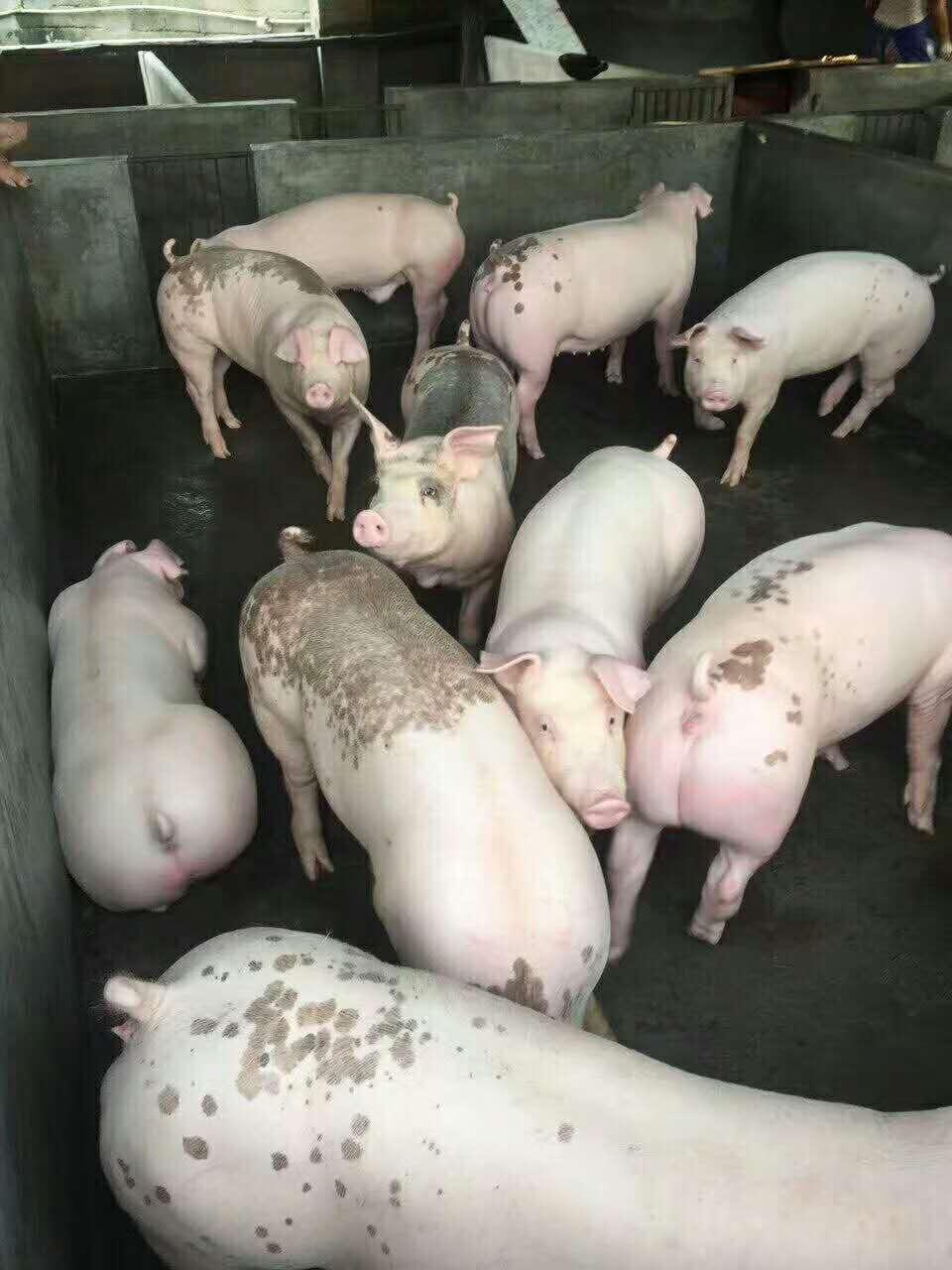 育肥猪年前出栏
