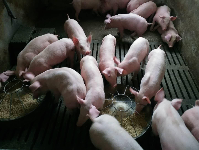 家庭猪场预防口蹄疫