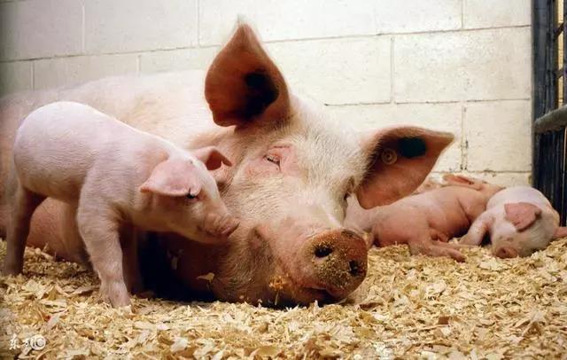 2018年农村养猪人怎么赚钱