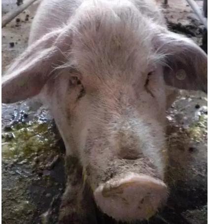 预防母猪繁殖性障碍疾病