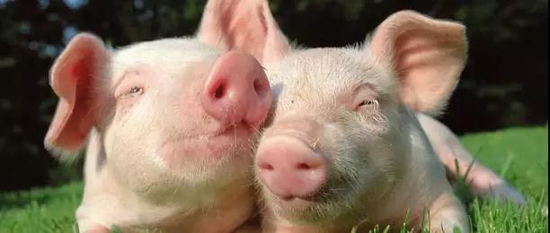 2018年最新高效养猪技术大全