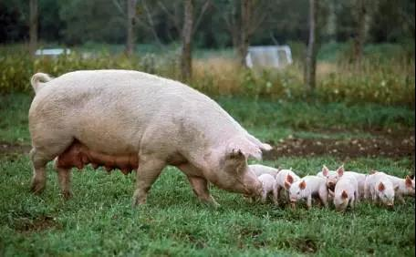 春节过后猪价下跌