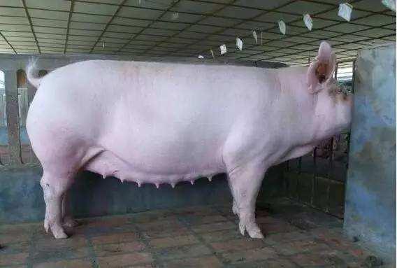 如何培育后备母猪