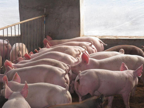怎样提高猪的生长速度