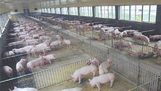 猪突发疾病怎么办