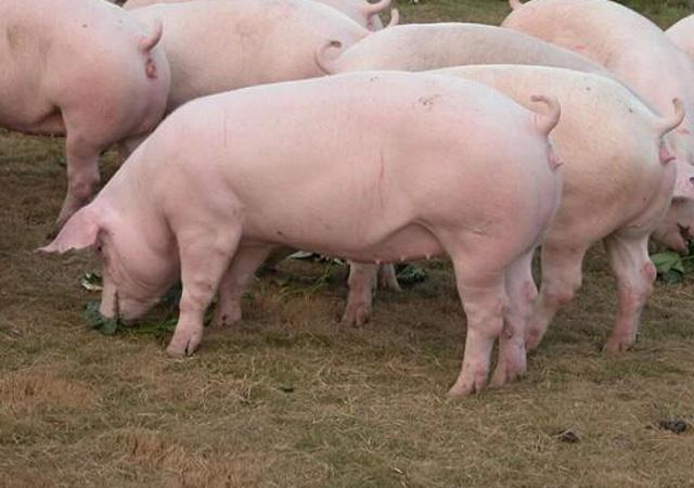 新母猪产过一胎后不发情怎么办
