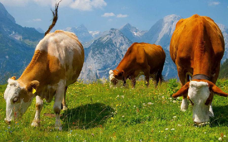 牛只吃饲料不吃草怎么办