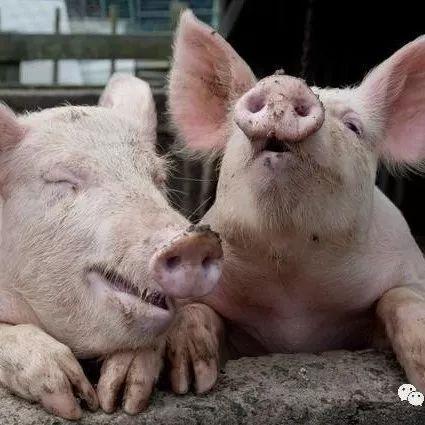 猪用发情药
