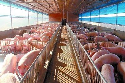 疫情|大猪提早出栏