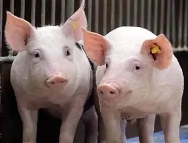保育猪怎么养长得快