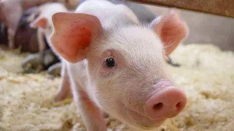 仔猪腹泻怎么治