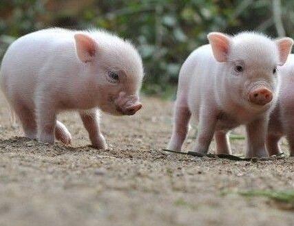 如何调理仔猪的肠胃