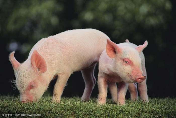 如何促进仔猪骨骼发育?