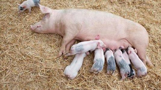 母猪的精准营养
