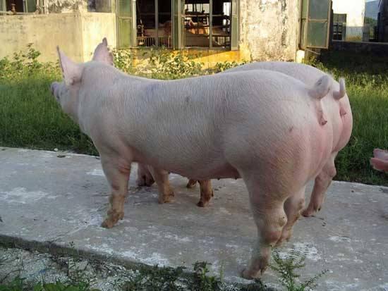 如何提高后备母猪的发情率