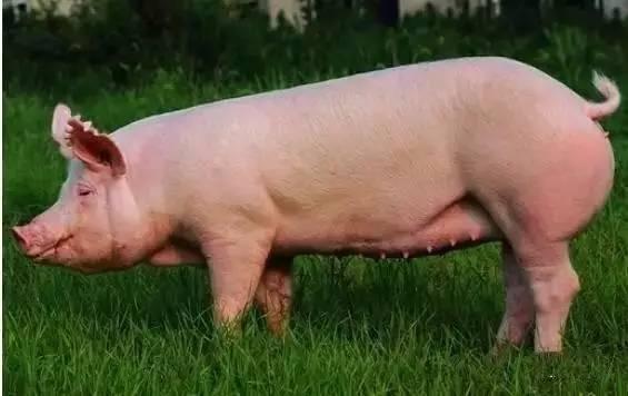 母猪断奶后发情