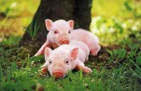 春季如何养猪