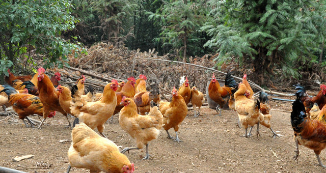 散养土鸡|啄癖