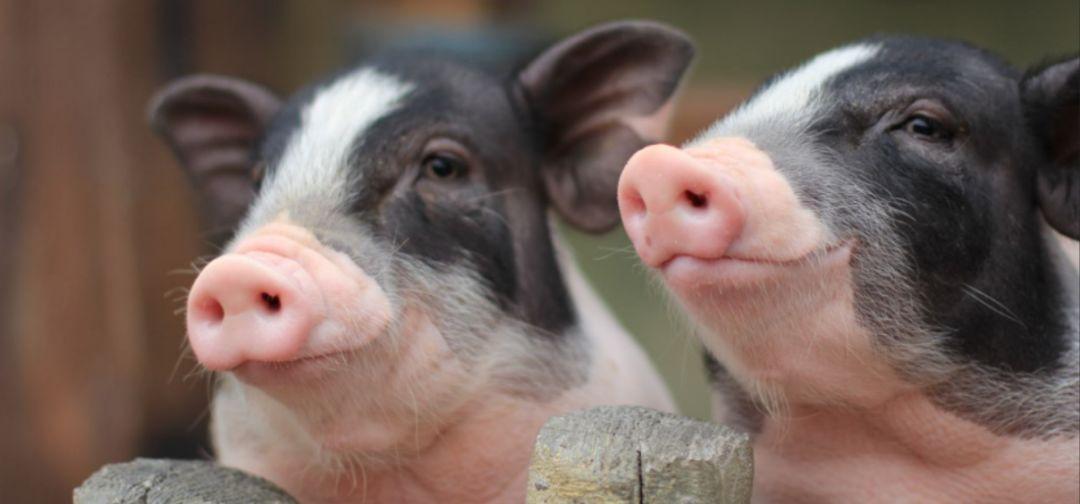 恢复生猪生产|防非